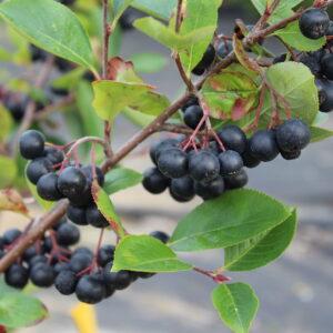 Aronia (Black Chokeberry)