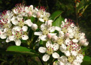 aronia-blooms