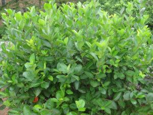 aronia-shrub-sheared