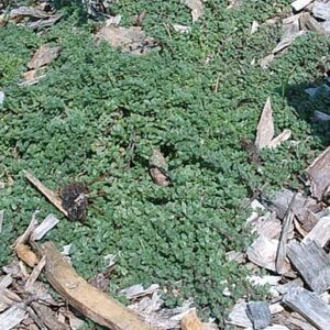 Thyme, Creeping Red