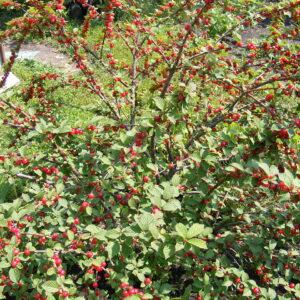 Cherry, Nanking