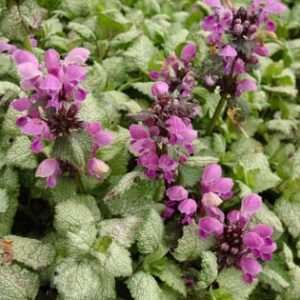 Lamium, Red Nancy