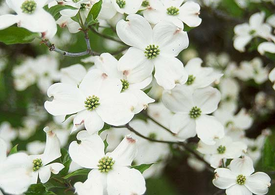 Dogwood white flowering moonshine designs nursery mightylinksfo