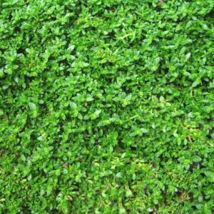 Herniaria Green Carpet Plug Flat