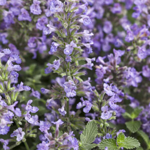 Catmint, Little Titch Plug Flat