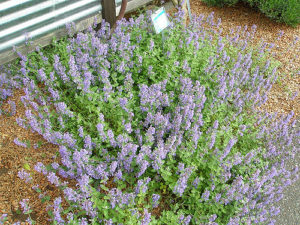 Catnip Nepeta cataria flowering in May 2008