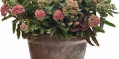 Wholesale Perennial Plugs