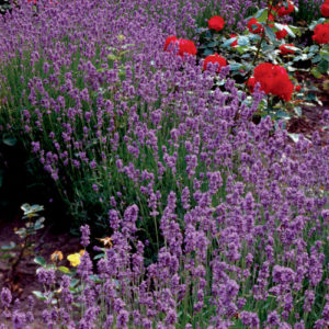 Lavender, Lavender Lady Plug Flat