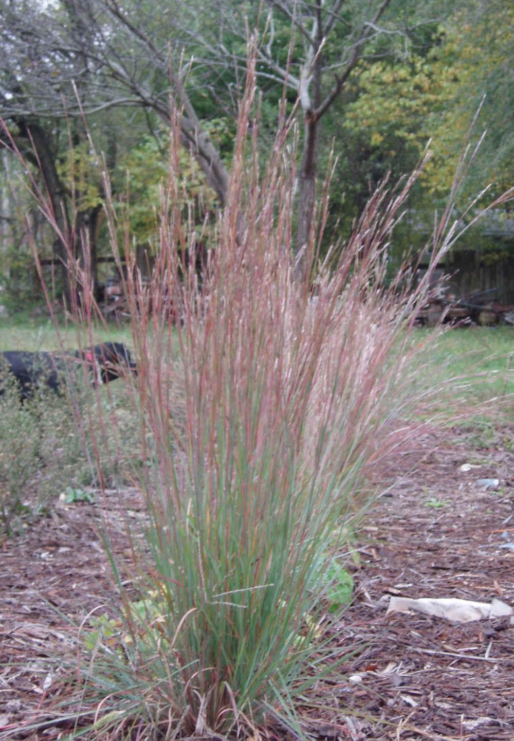 Grass schizachyrium scoparium little bluestem plug flat grass schizachyrium scoparium little bluestem plug flat moonshine designs nursery workwithnaturefo