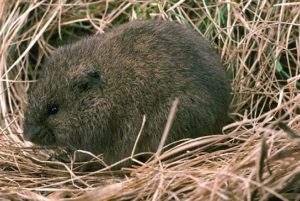 meadow_vole
