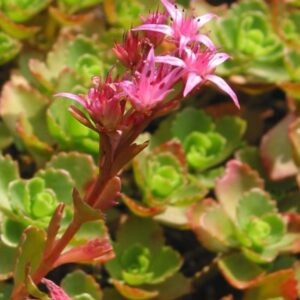 "Sedum, ""Dragon's Blood"", Plug Flats"