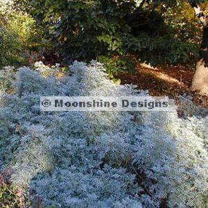 Artemisia, Silver Mound Plug Flat