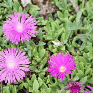 Delosperma (Ice Plant) Table Mountain Plug Flat