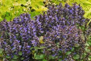 ajuga_blueberry_muffin_small