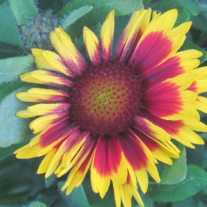 Gaillardia, Arizona Sun (Blanket Flower) Plug Flat