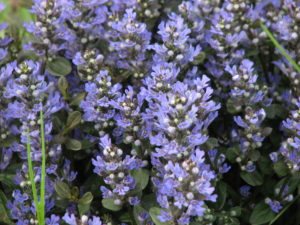 chocolate-chip-ajuga
