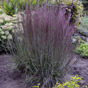 Grass, Prairie Winds® 'Blue Paradise' Little Bluestem