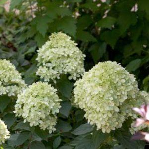 Hydrangea, Little Lime™