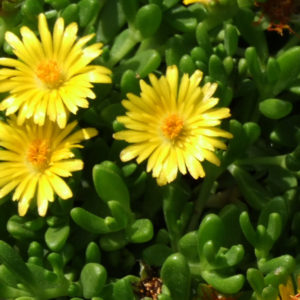 Delosperma, (Ice Plant) Gold Nugget