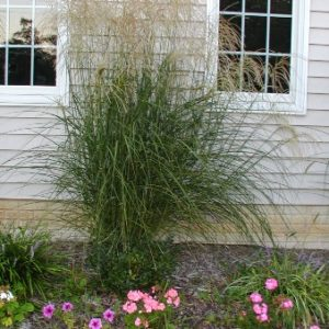 Grass, Miscanthus sinensis 'Gracillimus' Liners (Eulalia grass)