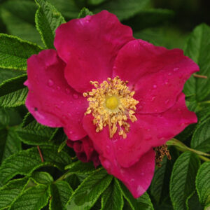 Rugosa Rose, Red
