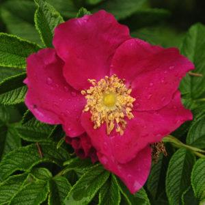 Rugosa Rose, Red