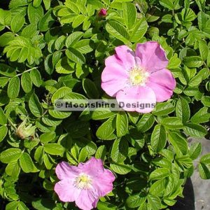 Rugosa Rose, Sandy