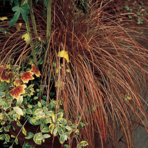Grass, Toffee Twist (Carex)