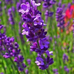 Lavender, Vera Plug Flat