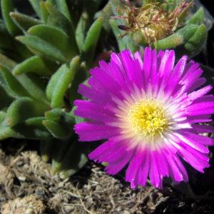 Delosperma (Ice Plant) Sutherlandii Plug Flat