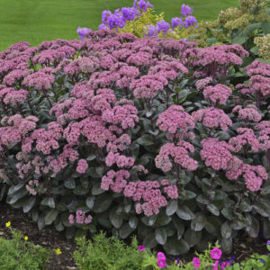 Sedum, Maestro Rock 'N Grow®