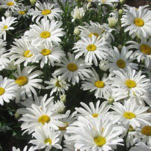 Leucanthemum (Shasta Daisy) White Breeze Plug Flat