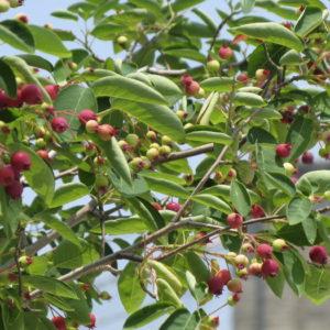 Serviceberry, Shadblow