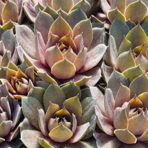Sempervivum, Purple Beauty