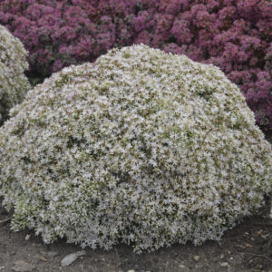 Sedum, 'Bundle of Joy' Rock 'N Grow®