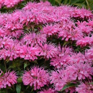 Monarda, Sugar Buzz® Bubblegum Blast