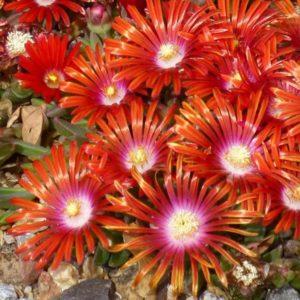 Delosperma, (Ice Plant) Red Mountain Flame