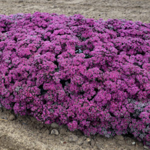 Sedum, 'Superstar' Rock 'N Grow®