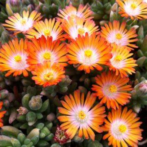 Delosperma, (Ice Plant) Jewel Of Desert Topaz