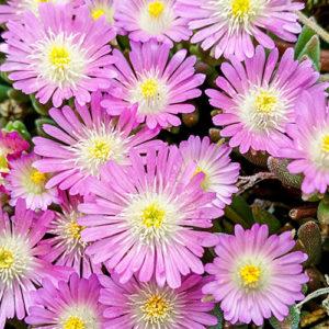 Delosperma, (Ice Plant) Jewel Of Desert Rosequartz