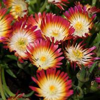 Delosperma, (Ice Plant) Jewel Of Desert Ruby