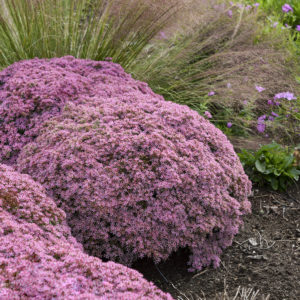 Sedum, 'Pride and Joy' Rock 'N Round™