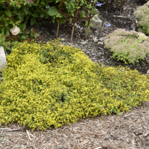 Sedum, 'Yellow Brick Road' Rock 'N Low™