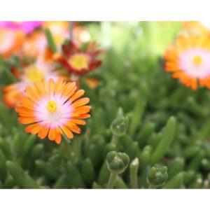 Delosperma, (Ice Plant) Rock Crystal Orange
